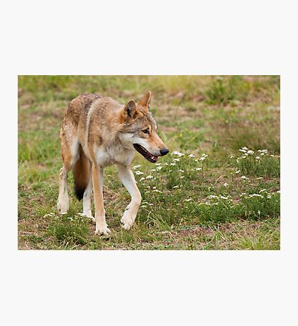 Wolf walking Photographic Print