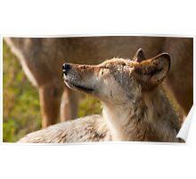 Wolf enjoying the sun Poster