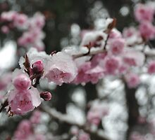 Cherry Blossom by xomoosexo