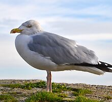 Chilly Herring Gull by lynn carter