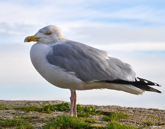 Chilly Herring Gull by lynn carter