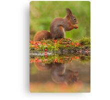 Red Squirrel eating + reflection Canvas Print