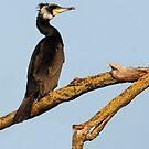 Cormorant by LaurentS