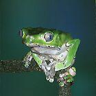 Giant Waxy Monkey Frog by AntiCollegial