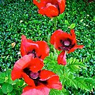 Red Poppies by Shulie1