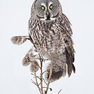 High-Key Great Gray Owl Staredown. by Daniel Cadieux