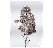 High-Key Great Gray Owl Staredown. Poster