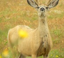 Curious Buck by Tjfarthing
