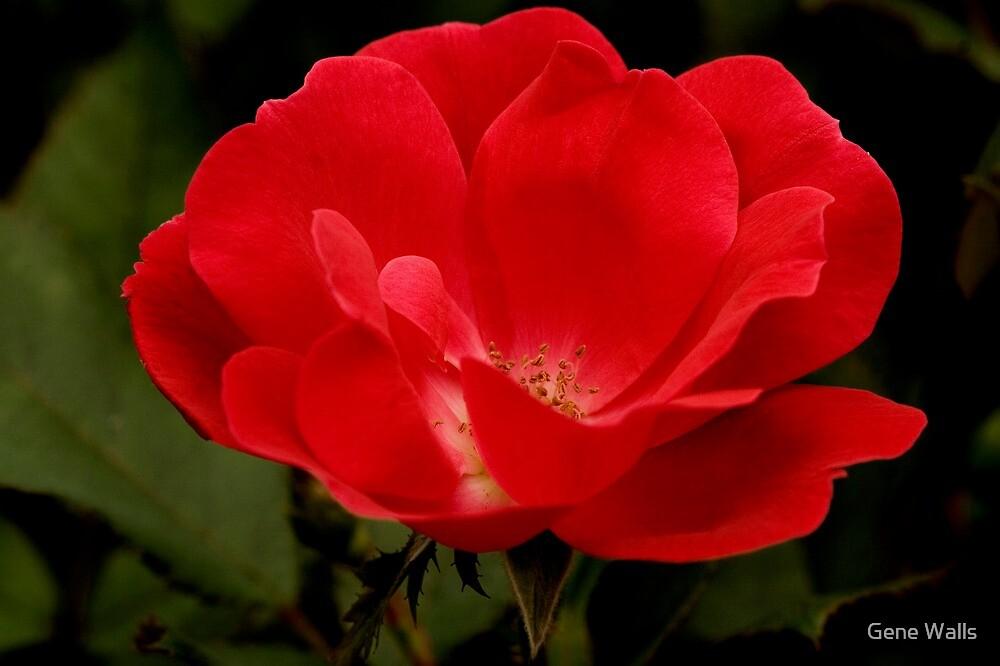 Sweet Georgia Rose by Gene Walls