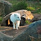 Arctic Fox by deb cole