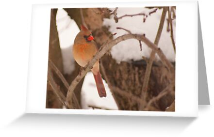 Female cardinal perched by Penny Rinker