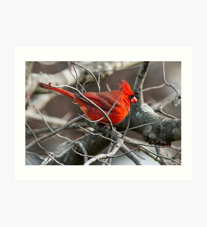 Northern Cardinal in Budding Maple Twigs Art Print