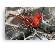 Northern Cardinal in Budding Maple Twigs Canvas Print