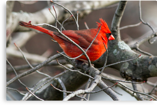 Northern Cardinal in Budding Maple Twigs by Kenneth Keifer