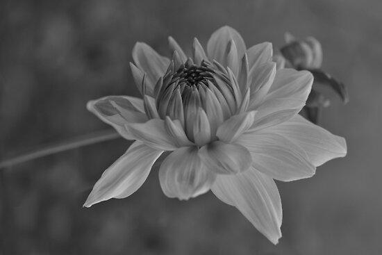 Dahlia by Linda Cutche