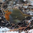 The European Robin (Erithacus rubecula) by DutchLumix