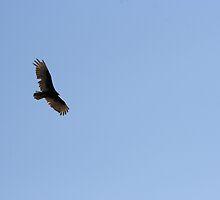 Turkey Vulture Circling 02 by osyran