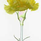Yellow carnation by Falko Follert