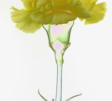 Yellow carnation by Falko Follert
