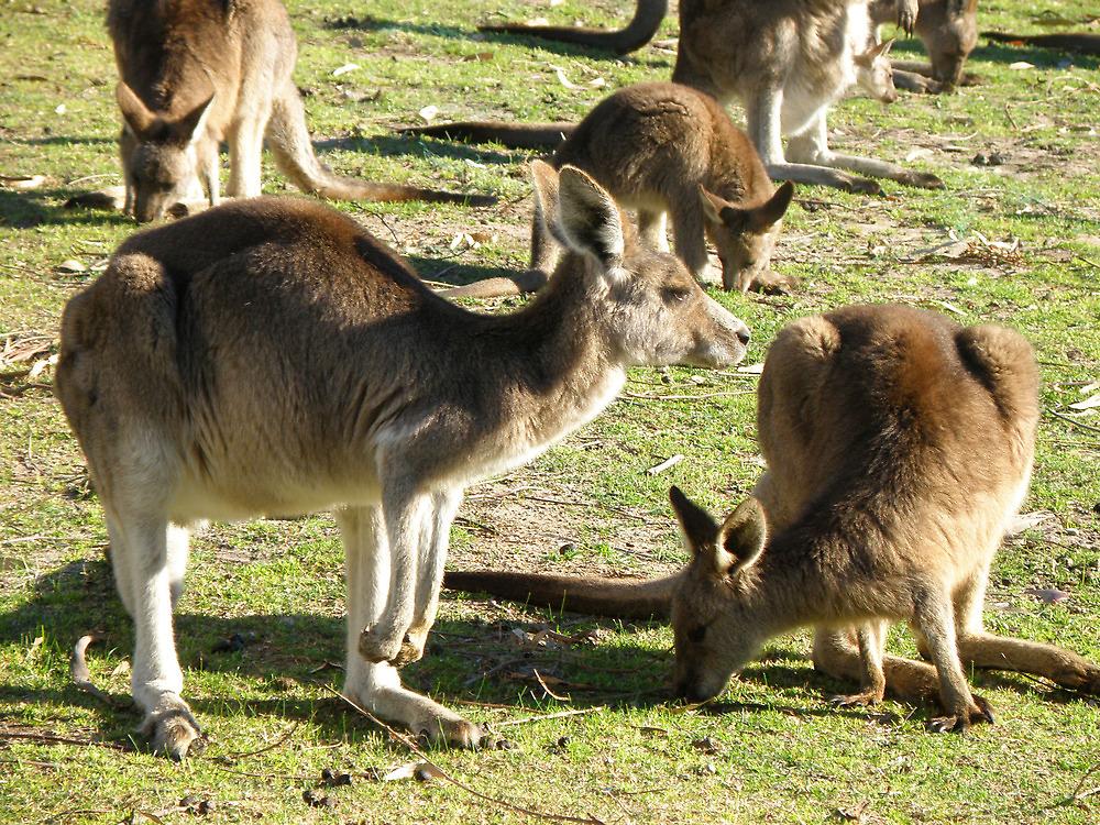 Aussie Roos by Elaine Game