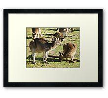 Aussie Roos Framed Print