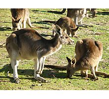 Aussie Roos Photographic Print
