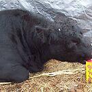 Calf Proof Packaging by JobieMom
