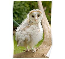 Young Barn Owl chick Poster