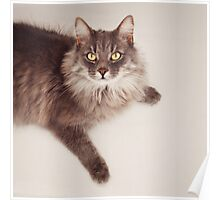 Semi long haired english blue male cat Poster