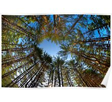 Looking up at Peoples State Forest Poster