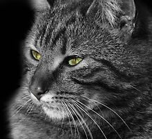 Green Eyed Tabby Cat by simpsonvisuals