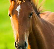 Foal in evening light by LaurentS