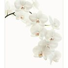 Perfect White Orchid by AlysonArtShop
