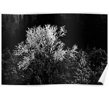 17.1.2013: Birches and Pine Tree Poster