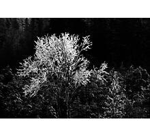 17.1.2013: Birches and Pine Tree Photographic Print