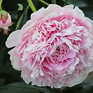 Pink Peony by Kathi Arnell