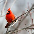 Northern Cardinal in a Maple Tree by Kenneth Keifer