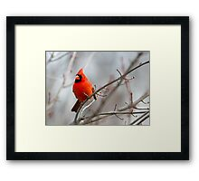 Northern Cardinal in a Maple Tree Framed Print