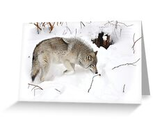 A wolf's tender moment... Greeting Card