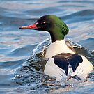 Goosander Duck by Margaret S Sweeny