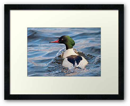 Goosander Duck by M.S. Photography & Art