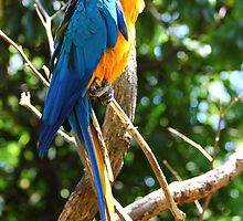 Macaw by klh0853