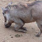 Warthog, Kenya by Martina Nicolls
