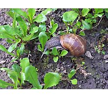 Snail, Croatia Photographic Print