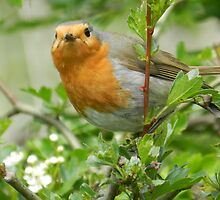Nosey Robin by kelly-m-wall