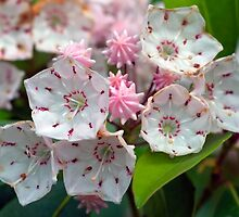 Mountain Laurel Buds & Blossoms by Gene Walls