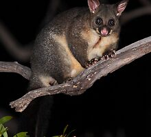 Hello Possum ! by Ian Creek