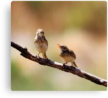 Australian Pipit with baby 1 of 2 Canvas Print