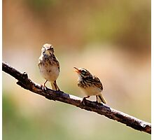 Australian Pipit with baby 1 of 2 Photographic Print