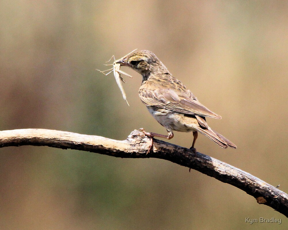 Australian Pipit 2 of 2  by Kym Bradley